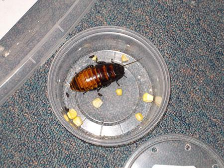 Roach eating corn at Bug Olympics